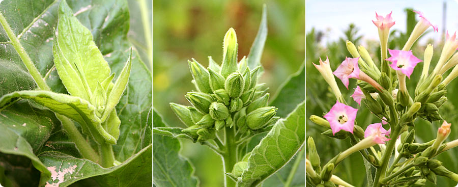 tobacco_flowers.jpg